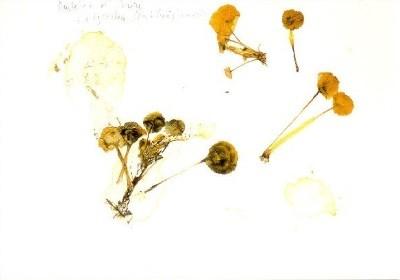 Joseph Beuys. Gepresste Pflanzen auf Papier, 1985. KK