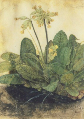 Albrecht Dürer. Schlüsselblume, 1503/05. KK